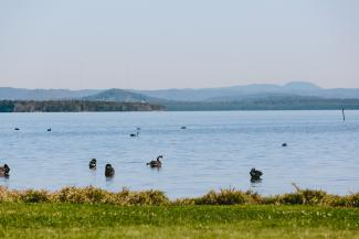 Black swans on Tuggerah Lake