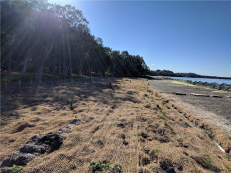 Berkeley Vale Saltmarsh - This location was thoroughly weeded and saw excellent natural regeneration. The site was mulched with sea grass wrack, stabilized with coir mesh and planted into with native saltmarsh species of providence.